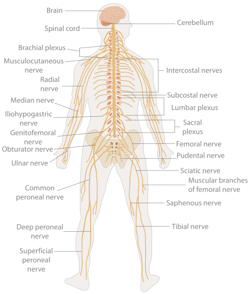 sexual nervous system